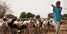 A shepherd and his herd in Senegal