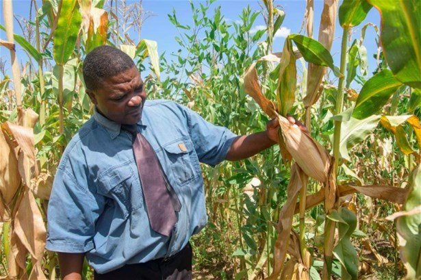 A head teacher at Milola primary school admiries a maize crop in the school garden, 2017