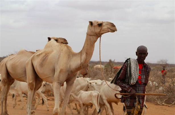 Camels and cattle being led in the drought-stricken Somali Region of Ethiopia, 2017