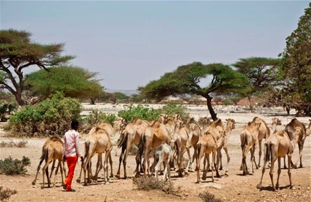 A camel herder walks behind his herd near the town of Ainabo, Somalia, March 2017