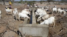 Shoats accessing water from the newly constructed trough in Tana location, Isiolo County
